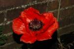 8 inch poppy