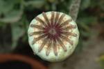 DSC_3443 poppy seed pod