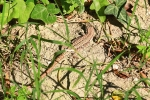 View the album Lizards, Frogs, slow worms and snakes ( if I find  any )