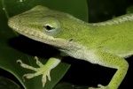 0705 Lizard Anoles Carolinensis-dd small file.jpg