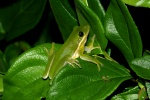0735 green Tree Frog-d small file.jpg