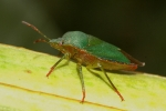 shield bug 1.jpg